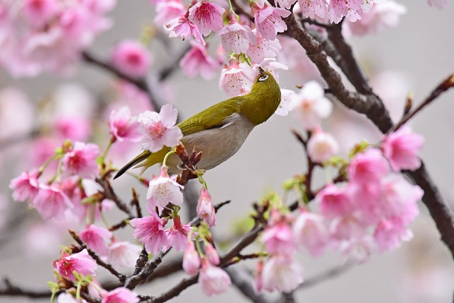寒桜とメジロ(3)