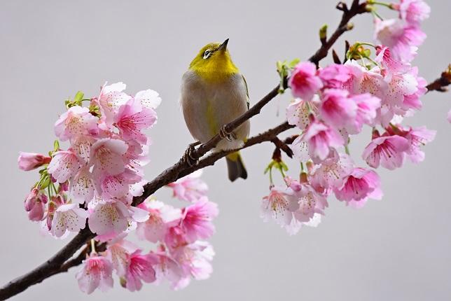 寒桜とメジロ(1)