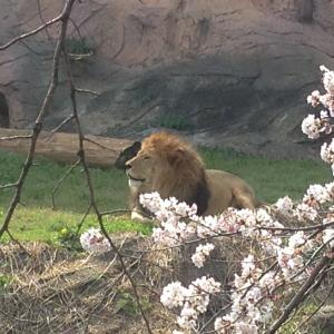 桜とライオン