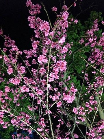 今帰仁桜祭り