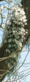 Dockrillia_teretifolia[1]
