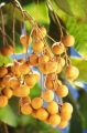 Dimocarpus_longan_fruits[1]