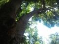 1_Assegai_tree_-_Curtisia_dentata_-_afromontane[1]