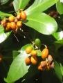 Corynocarpuslaevigatus012[1]