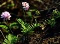 Pink_Flowers_Crown_Vetch_DSC_0076[1]