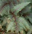 Japanese_Painted_Fern_Athyrium_nipponicum_Pictum_Leaf_1500px[1]