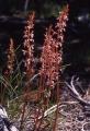 Corallorhizamertensiana[1]