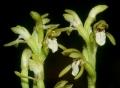 Corallorrhiza_trifida_02_mg-k[1]