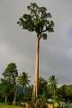 Petersianthus quadrialatus