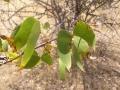 Mopane[1]