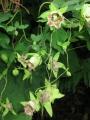 Codonopsis_lanceolata_3[1]