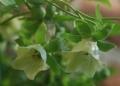Codonopsis_pilosula_flowers[1]