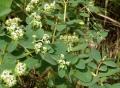 Euphorbia_atoto[1]