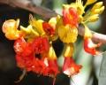 Castanospermum_australe_flower_1[1]