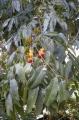 Castanospermum_australe_flowers_and_foliage[1]
