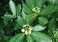 olivewood+flower[1]