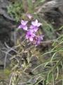 Campylanthus20salsoloides20Tenerife20monte20Las20Mercedes20Anaga20AD[1]