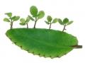 bryophyllum_pinnatum01[1]