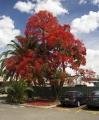 Flame_Tree.jpg
