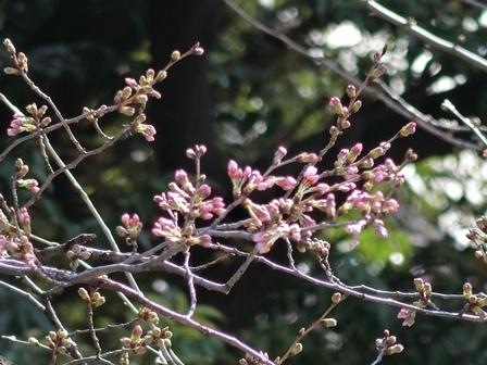 2016桜-2