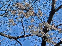 岡倉天心記念公園の桜