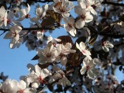 赤葉桜(アカバザクラ)スモモ