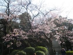 小松乙女(コマツオトメ)原木