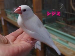 シジミちゃん~背中の羽が白くなってきた!