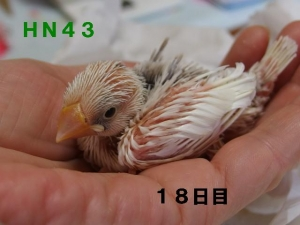 HN43幼名みこ~どっしりちゃん