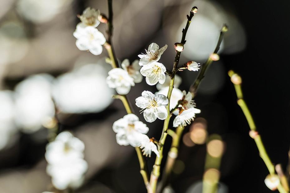 2016.03.11兼六園の梅2
