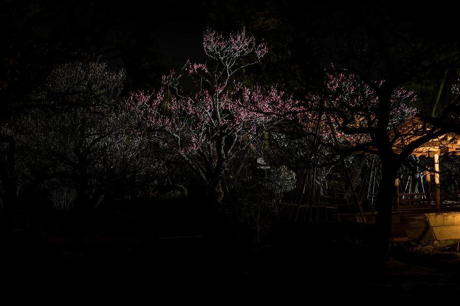 2016.03.11兼六園の梅1