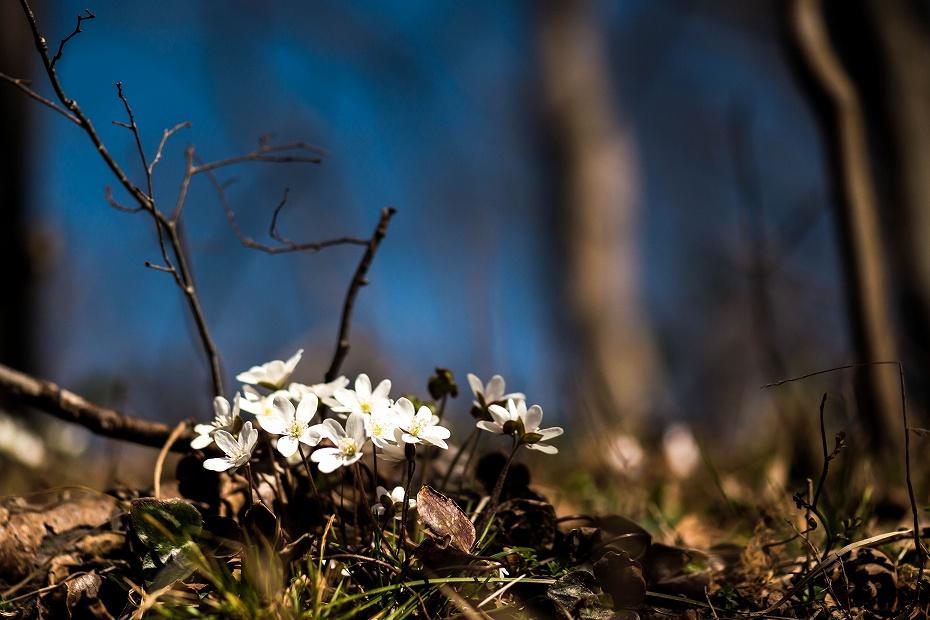 2016.03.17白い雪割草16