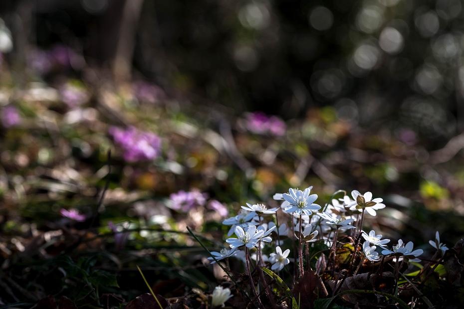 2016.03.17白い雪割草13