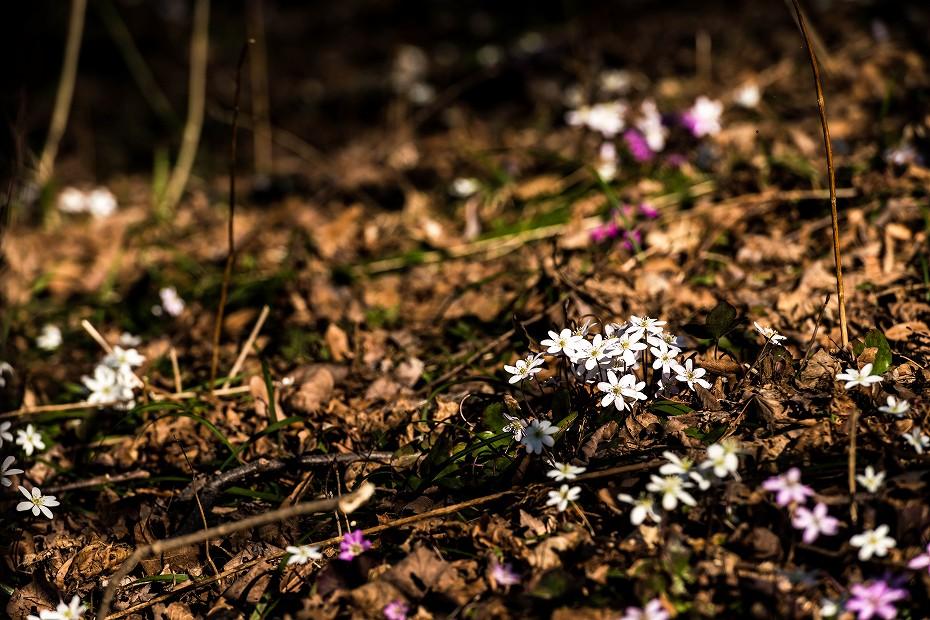 2016.03.17白い雪割草12