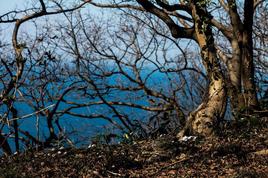 2016.03.17白い雪割草11