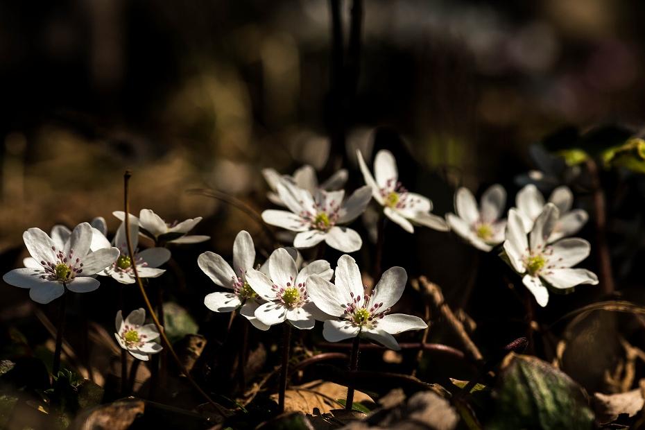 2016.03.17白い雪割草6