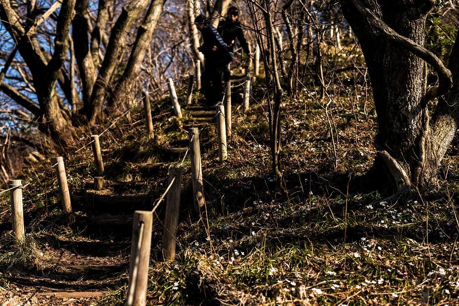 2016.03.17白い雪割草5