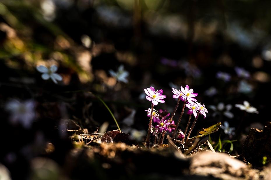 2016.03.17薄紫の雪割草17