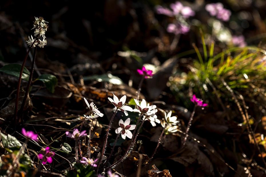2016.03.17薄紫の雪割草15