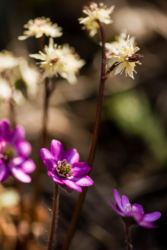 2016.03.17薄紫の雪割草14