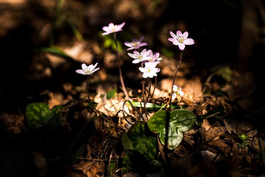2016.03.17薄紫の雪割草13