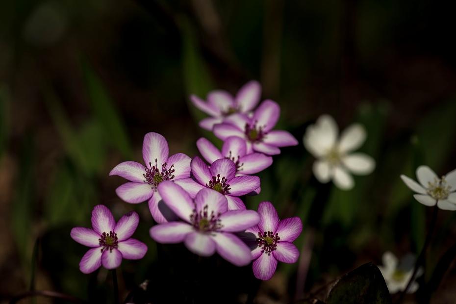 2016.03.17薄紫の雪割草16
