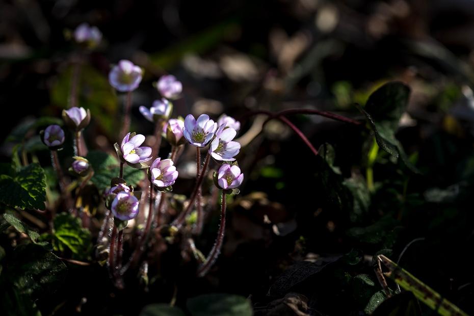 2016.03.17薄紫の雪割草11