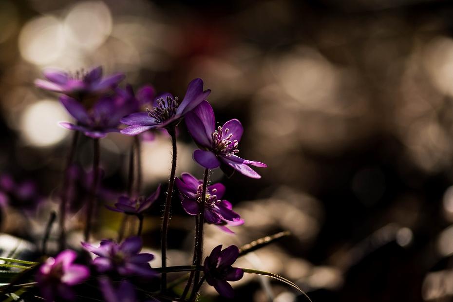 2016.03.17薄紫の雪割草10