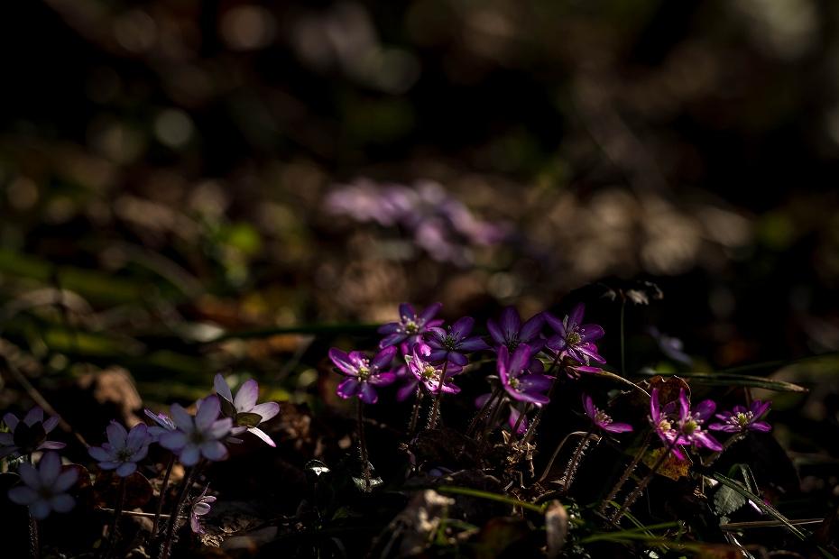 2016.03.17薄紫の雪割草7