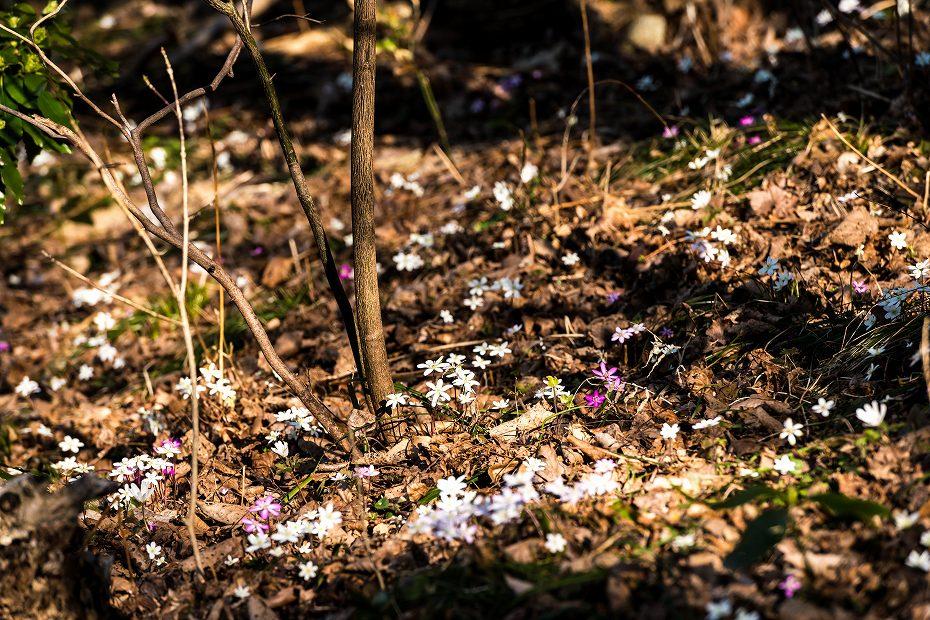 2016.03.17薄紫の雪割草9