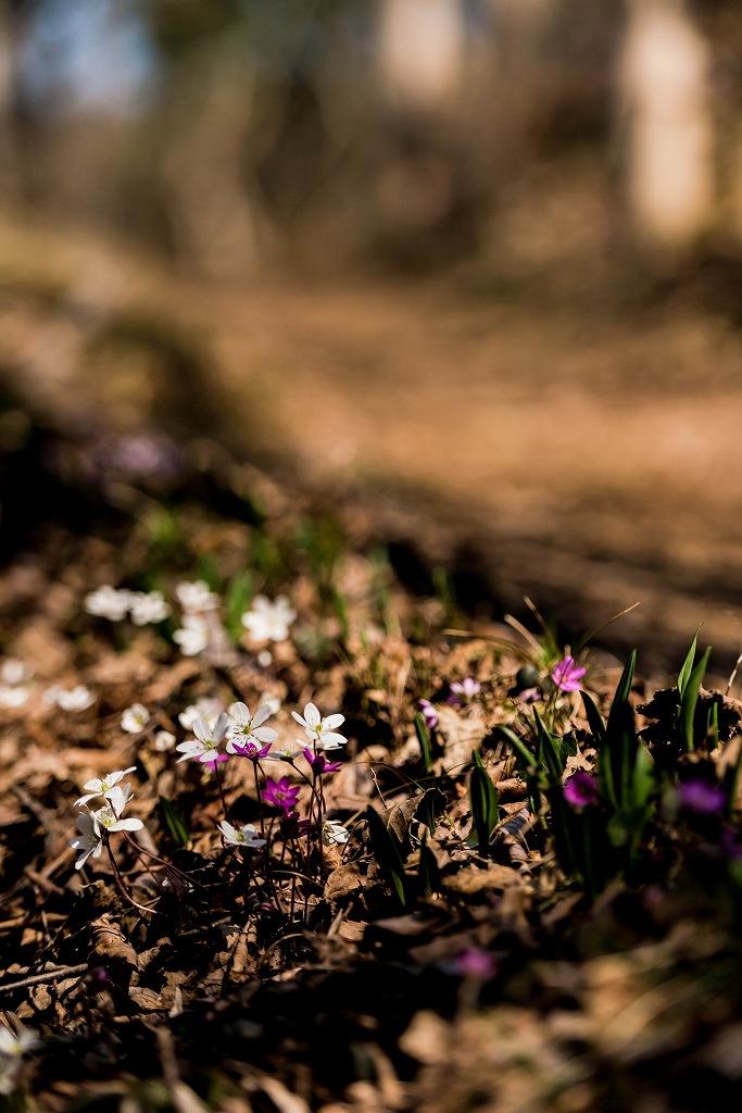 2016.03.17薄紫の雪割草5