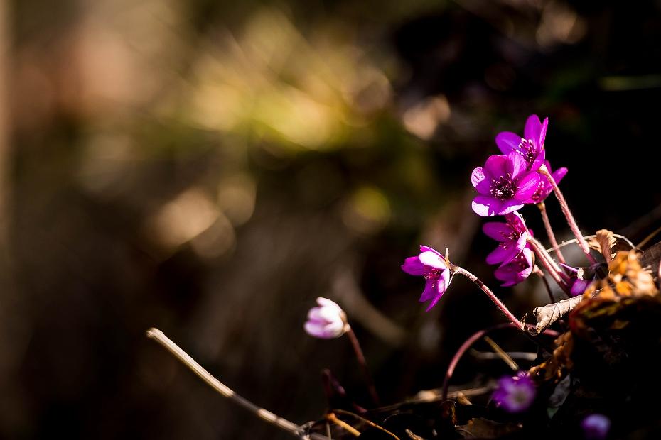 2016.03.17薄紫の雪割草6