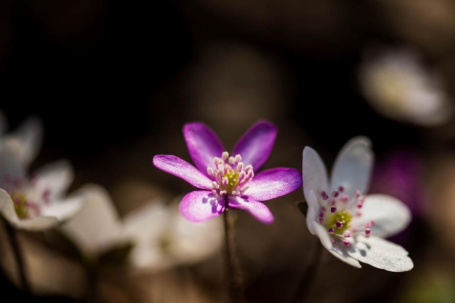 2016.03.17薄紫の雪割草3