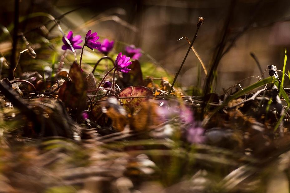 2016.03.17薄紫の雪割草2